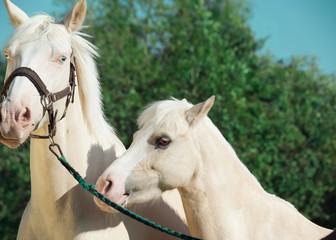 cream horse and pony