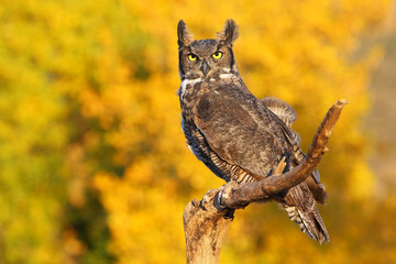 Great horned owl sitting on a stick