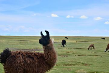 草原とリャマ