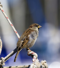Sparrow on a rope