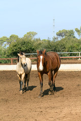 pair of beautiful horses