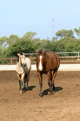 pair of beautiful horses
