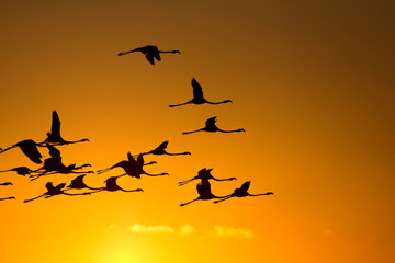 Flying flamingos at sunset
