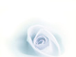 Beatiful blurred blue rose faded on white background.
