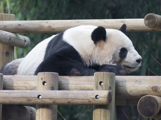 panda resting on  wooden structure