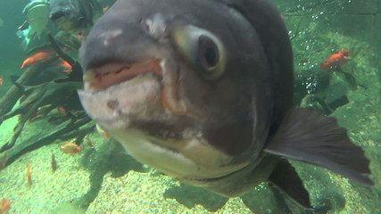 Pacu fish up close to camera swimming underwater.