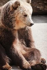 Brown bear (Ursus arctos arctos) sitting on the ground
