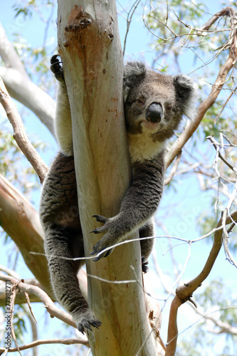Koala hanging in a Eucaliptis tree