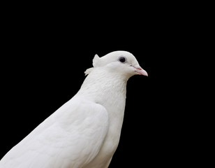 White Pigeon Closeup