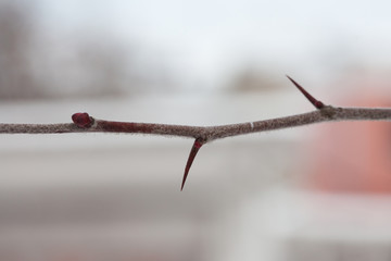 Thorn tree. Branch with buds and thorns.