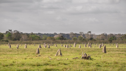 Termite nests in Pantanal, focus on foreground, Brazil