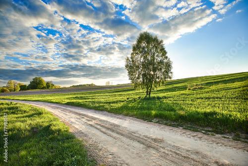 Drzewo przy drodze w wieczornym świetle  - 77988147