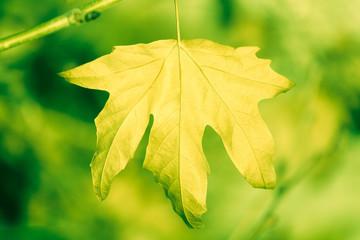 Dry sycamore leaf on tree