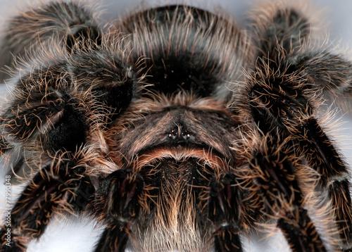 canvas print picture tarantula spider macro