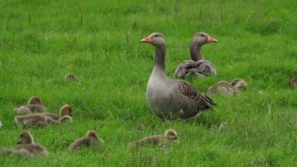 ガンの親子 ハイイロガン GreylagGoose Parent and child of the wild goose