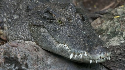 Alligator close up. Macro. HD. 1920x1080