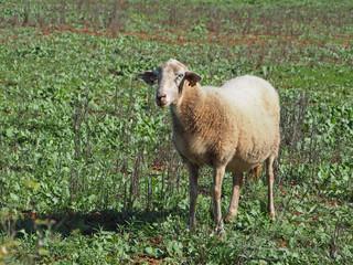 Schaf auf Ibiza