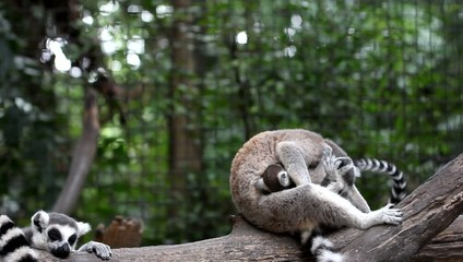 Ring tailed lemur with his child in park. HD. 1920x1080