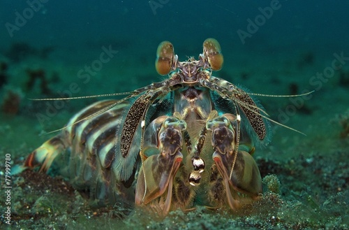 Foto op Plexiglas Indonesië mantis shrimp, Indonesia