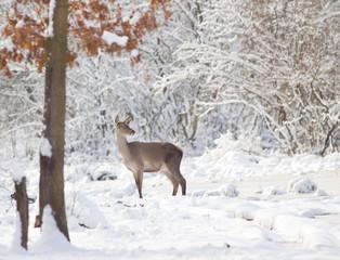 Hind on snow