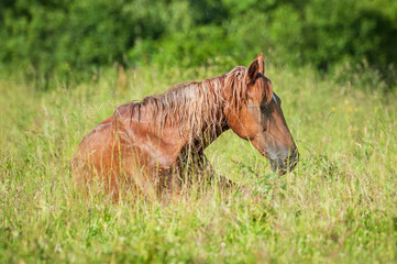 Red horse sleeping on the grass in summer