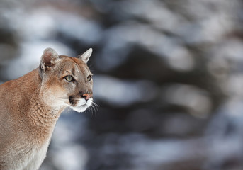 lion, hiking, trail, america, fur, carnivore, puma, killer