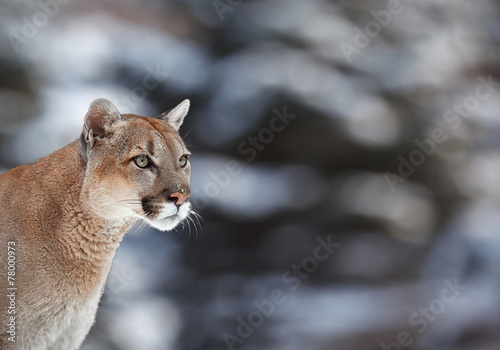 Fotobehang Leeuw lion, hiking, trail, america, fur, carnivore, puma, killer