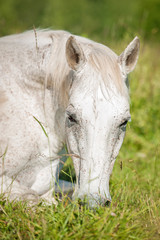 White horse sleeping on the grass in summer