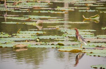Chinese Pond Heron (Ardeola bacchus) and lotus pond.