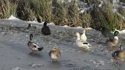 Wasservögel im Winter