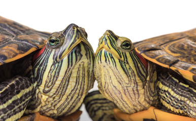 Two Trachemys scripta