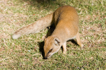 Yellow mongoose (Cynictis peniciillata)