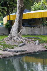 Crocodiles under the tree