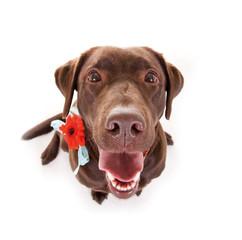 Labrador mit Blume