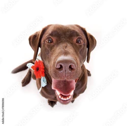 canvas print picture Labrador mit Blume