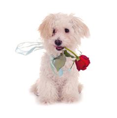 Süßer Hund mit Rose