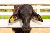 baby of murrah buffalo (water buffalo) at farm in thailand