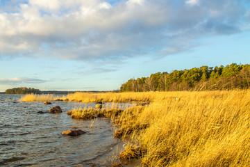 Bulrush at the oceanshore in the morning light