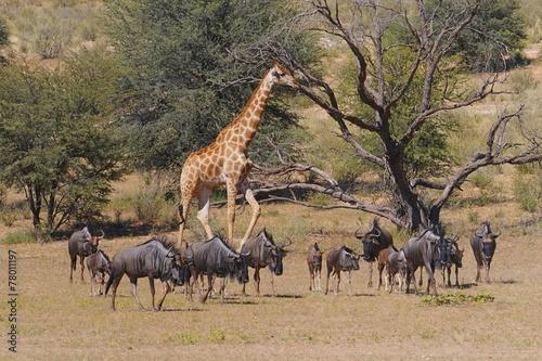 Streifengnus und Giraffe- Kgalagadi Transfrontier Nationalpark