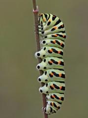 Schwalbenschwanz-Raupe (Papilio machaon) am Dörnberg