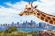 Giraffe at Taronga Zoo in Sydney. Australia.