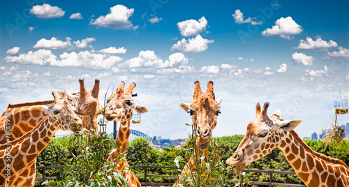 Foto op Plexiglas Giraffe Giraffes at Taronga Zoo, Sydney. Australia.
