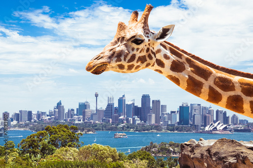 Plagát, Obraz Giraffe at Taronga Zoo in Sydney. Australia.