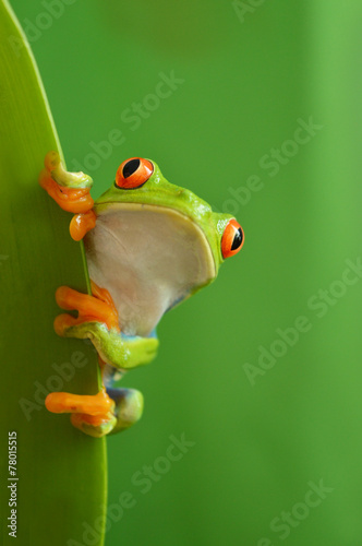 Fotobehang Kikker Red eyed tree frog