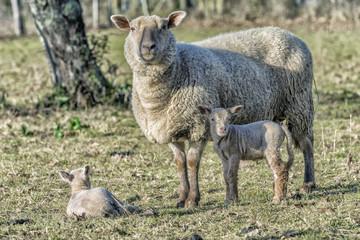 Brebis et ses petits de deux semaines