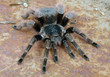 Brazilian Red Tarantula - 78028323