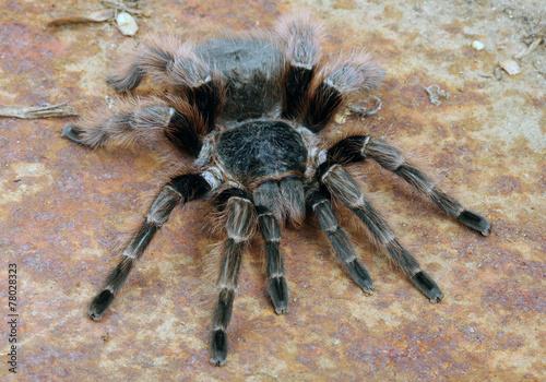 Leinwanddruck Bild Brazilian Red Tarantula