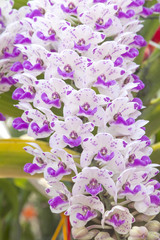 White and purple Rhynchostylis orchid
