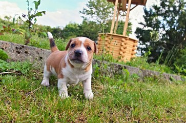 Puppy of Jack Russell Terrier