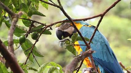 Blue-and-yellow Macaw (Ara ararauna) in the rainforest, Ecuador